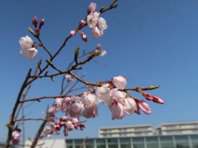 晴れの日の桜