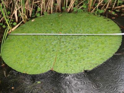 今年は葉の直径が最大約110cmとなりました
